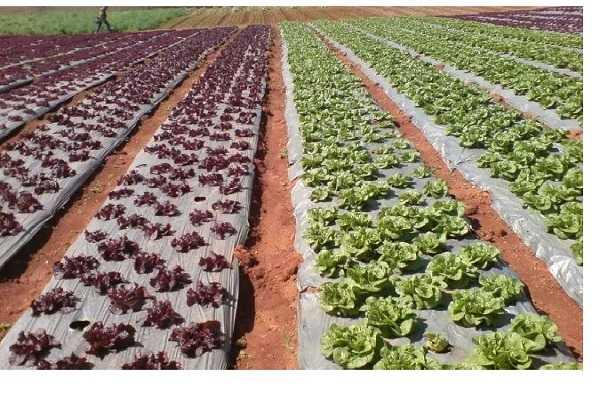 Màng PE 2.6 lõi 0.5- D50 bọc cây trồng, tránh côn trùng gây hại hoặc tác động xấu từ thời tiết